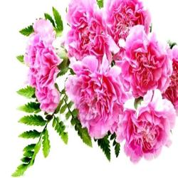 Bouquet of 6 Carnations for Moga