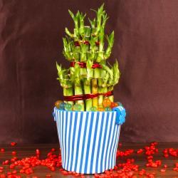 Good Luck Bamboo Plant in Eva Basket for Belgaum