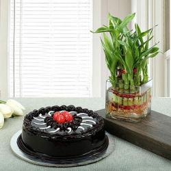 Good Luck Plant with Truffle Chocolate Cake for Hyderabad
